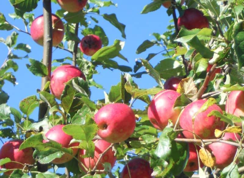Alte Obstsorten im Arthofergut finden und genießen!